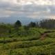 Pola herbaty cejlońskiej