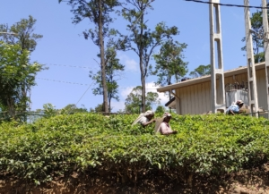 Tamilowie zbieracze herbaty